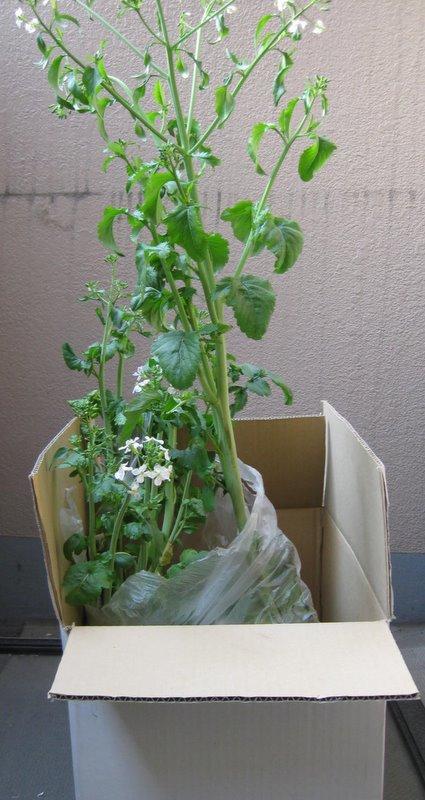 箱中栽培の大根