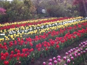 花見山 チューリップ畑