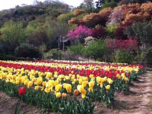 花見山 チューリップ畑2