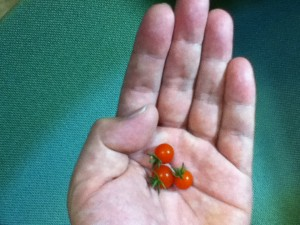 手のひらのマイクロトマト